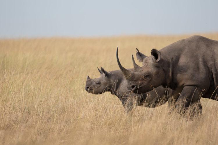 Rhino in Tanzania