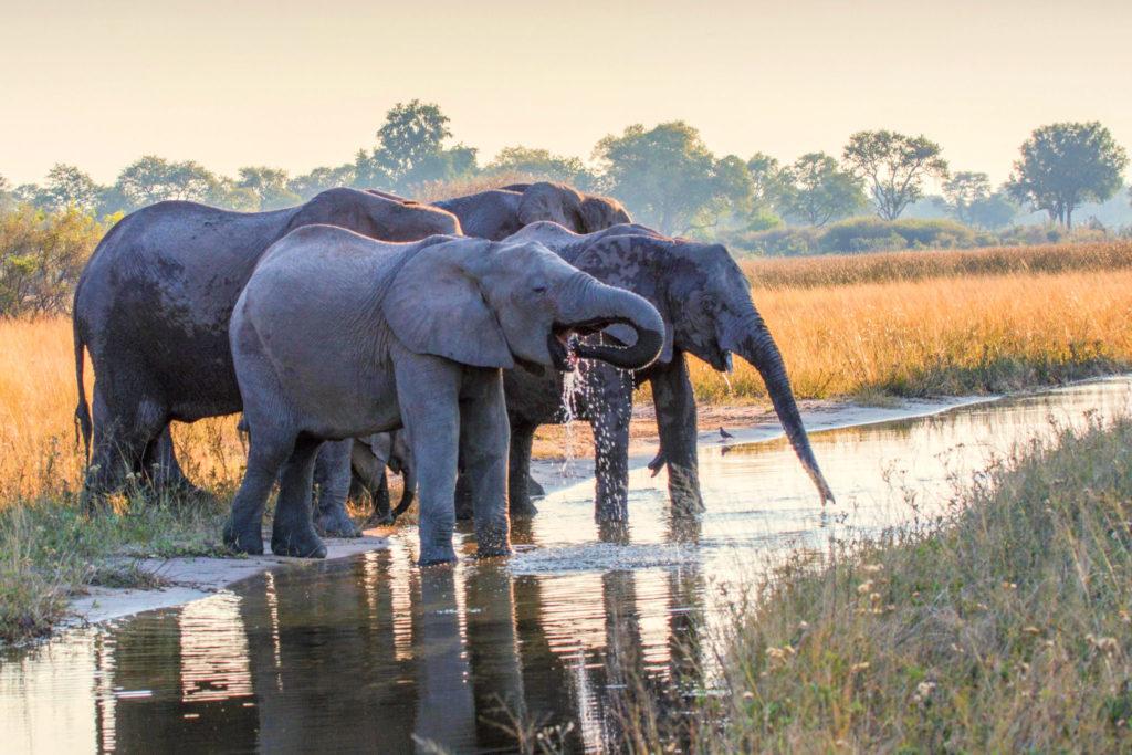 Reteti Elephant Sanctuary, elephants drinking at sunset, walking safaris in africa, botswana safaris