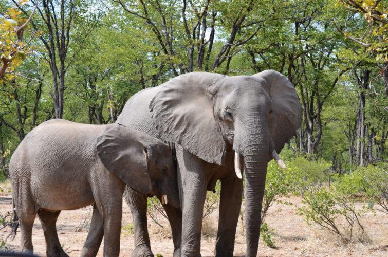 safaris in Zimbabwe, Southern Africa safari, African Wildlife tours, wildlife safaris in southern africa, Zimbabwe, Victoria Falls, Family safari holiday packages from Australia